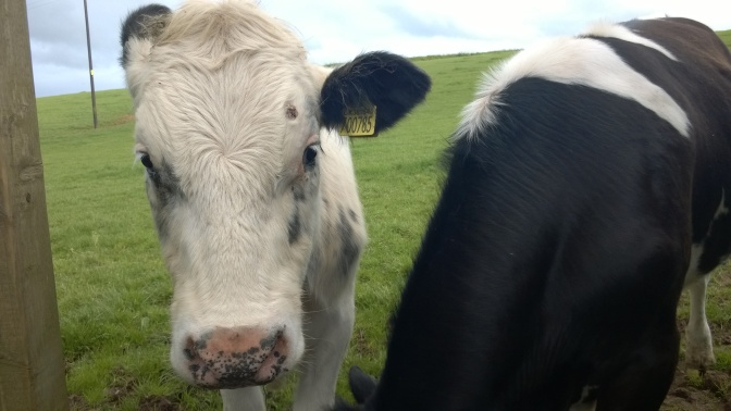 Can Cows sniff out a Vegan?