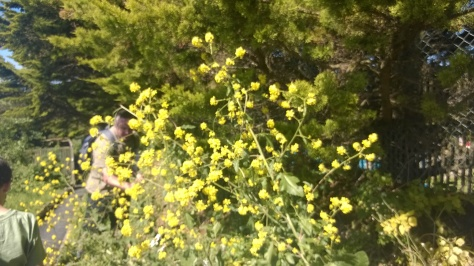 Black mustard foraging