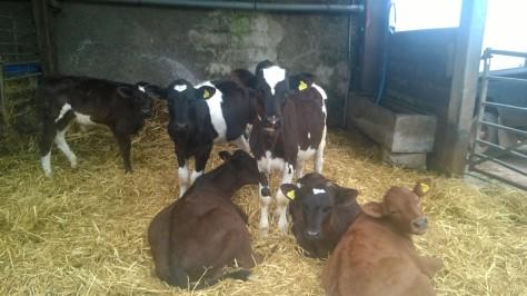 bulleigh farm cows devon