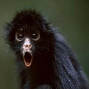 black-spider-monkey1-15433_185x185