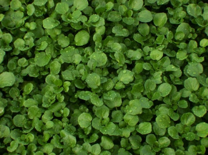Watercress: The most nutritious kid on the block